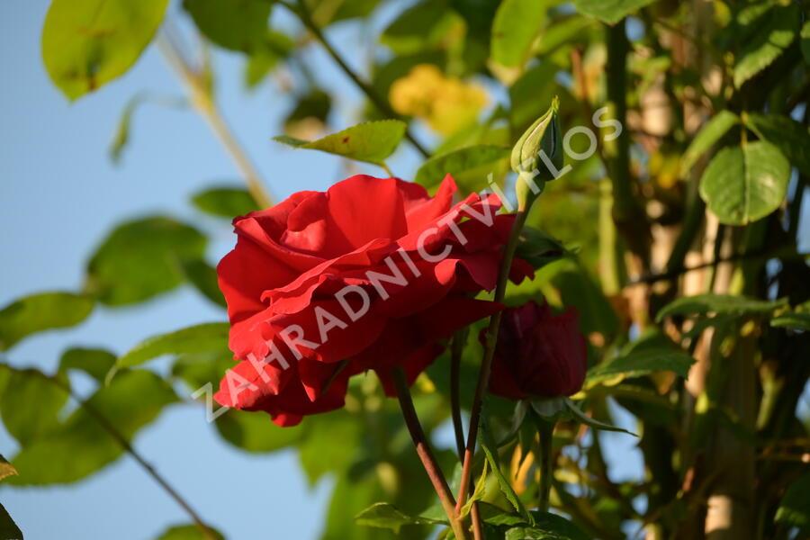 Růže pnoucí 'Santana' - Rosa PN 'Santana'