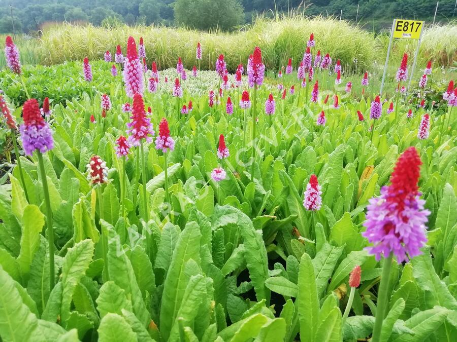Prvosenka vstavačokvětá - Primula vialii