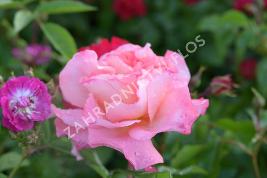 Růže velkokvětá Tantau 'Augusta Luise' - Rosa VK 'Augusta Luise'