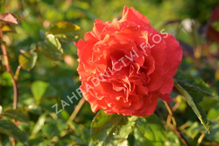 Růže velkokvětá Tantau 'Duftwolke' - Rosa VK 'Duftwolke'
