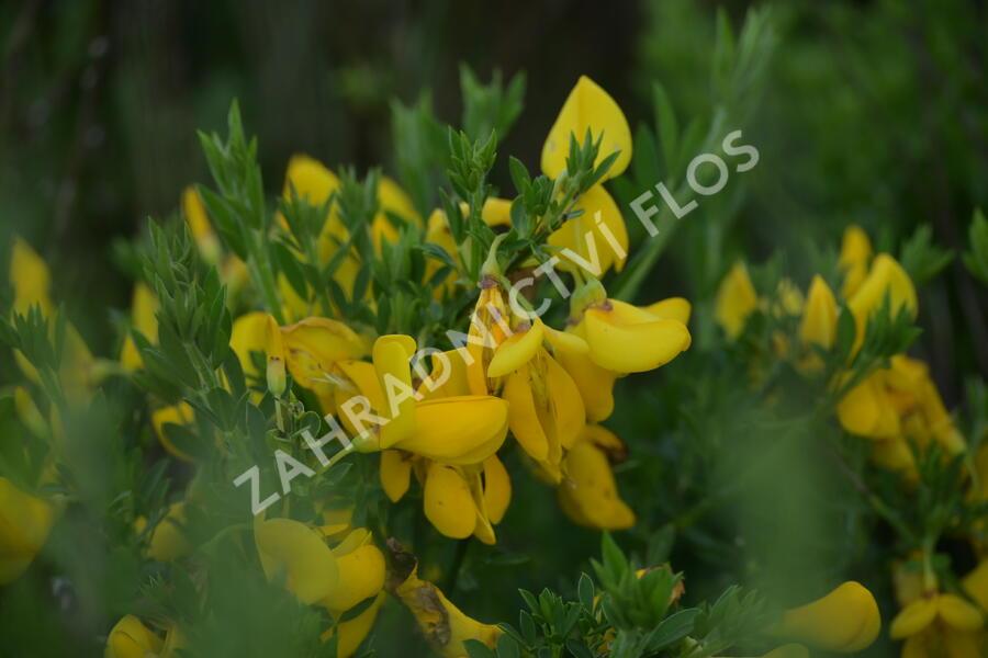 Janovec metlatý - Cytisus scoparius