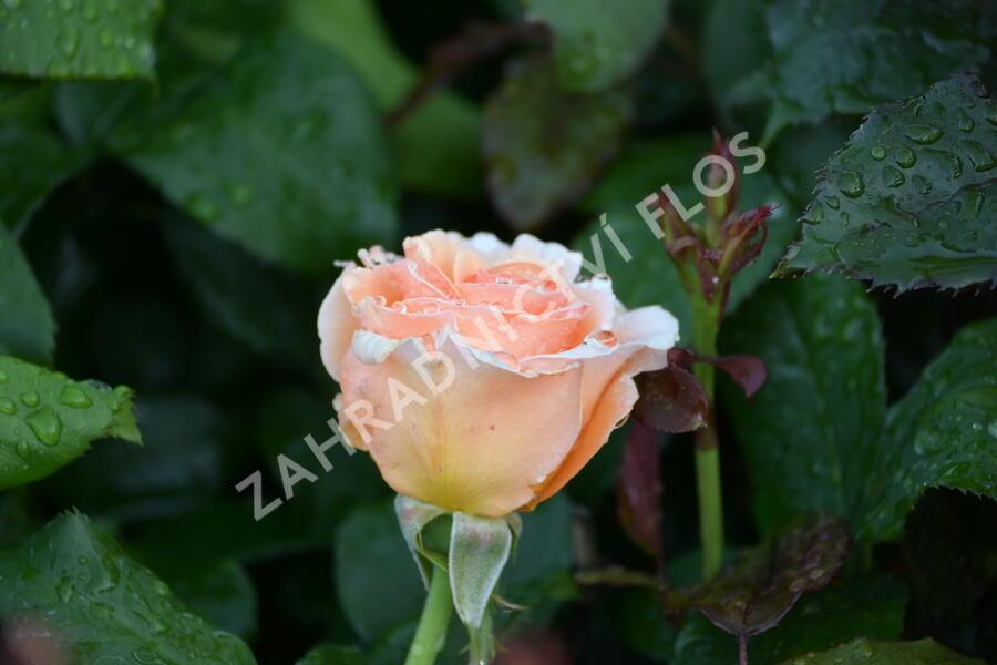 Růže velkokvětá 'Clodagh McGredy' - Rosa VK 'Clodagh McGredy'