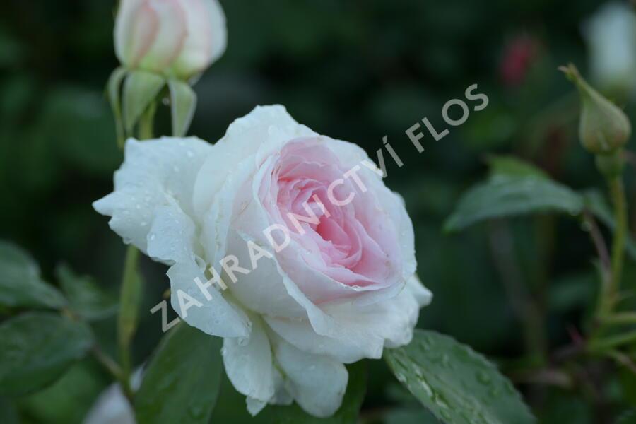Růže mnohokvětá 'Morden Blush' - Rosa MK 'Morden Blush'
