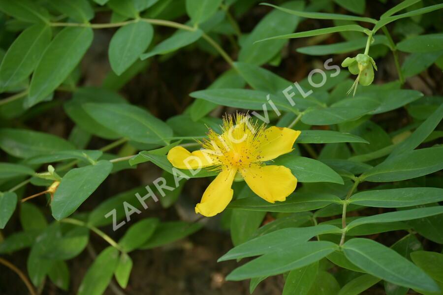 Třezalka kalíškatá - Hypericum calycinum