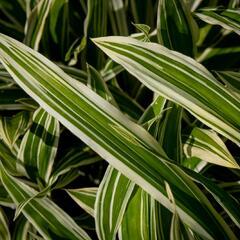 Ostřice 'Treasure Island' - Carex ciliatomarginata 'Treasure Island'