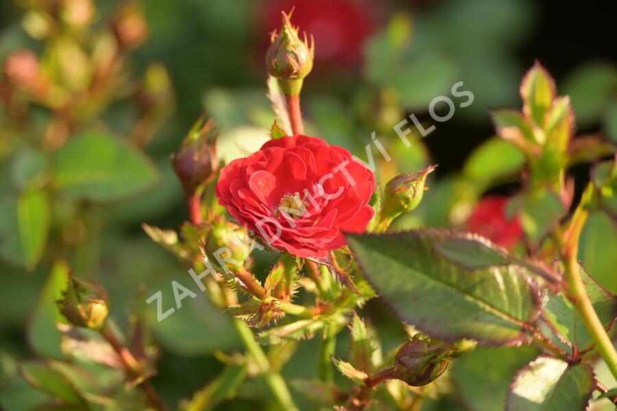 Růže mini 'Mandy' - Rosa MI 'Mandy'