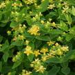 Třezalka nevonná 'Sunshine' - Hypericum inodorum Magical 'Sunshine'