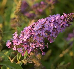 Motýlí keř, komule 'Summer Bird Violet' - Buddleia 'Summer Bird Violet'