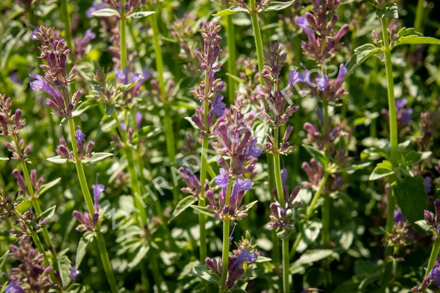 Agastache 'Apadana Blue' - Agastache hybrida 'Apadana Blue'