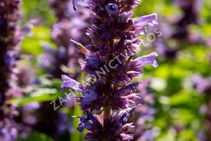 Agastache 'Blue Boa' - Agastache hybrida 'Blue Boa'