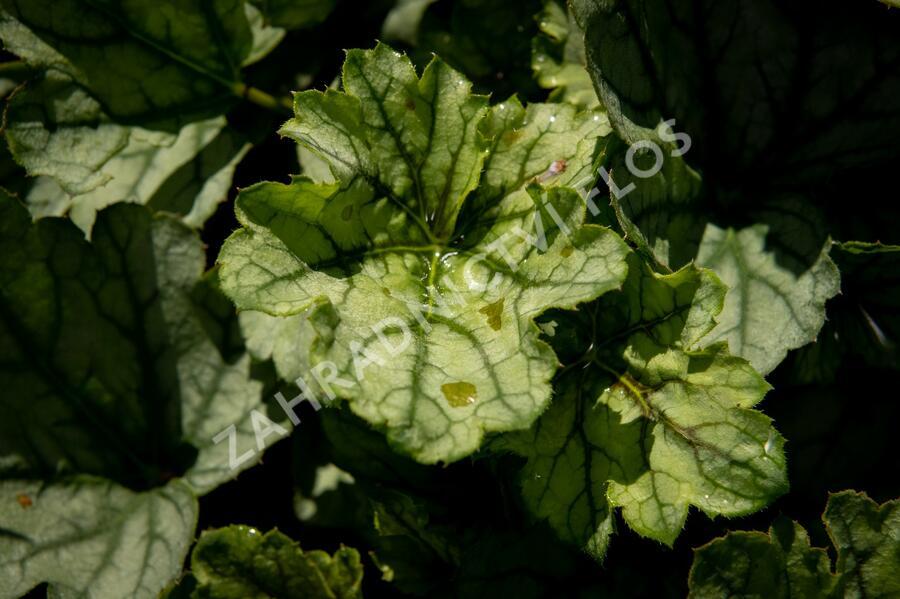 Dlužicha 'Venus' - Heuchera hybrida 'Venus'