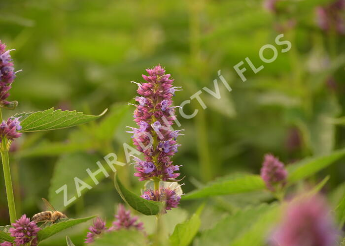 Agastache 'Beelicious Purple' - Agastache hybrida 'Beelicious Purple'