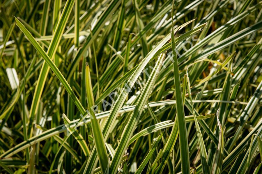 Ostřice japonská 'Vanilia Ice' - Carex morrowii 'Vanilia Ice'