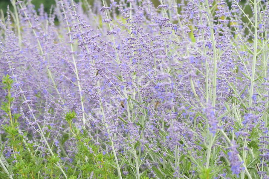 Perovskie lebedolistá 'Blue Spire' - Perovskia atriplicifolia 'Blue Spire'
