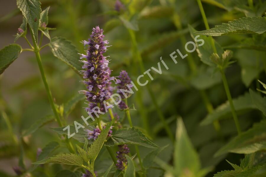 Agastache 'Black Adder' - Agastache hybrida 'Black Adder'