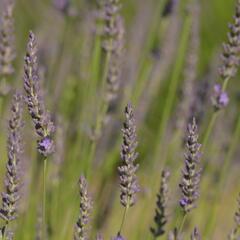 Levandule úzkolistá 'Phenomenal' - Lavandula angustifolia 'Phenomenal'
