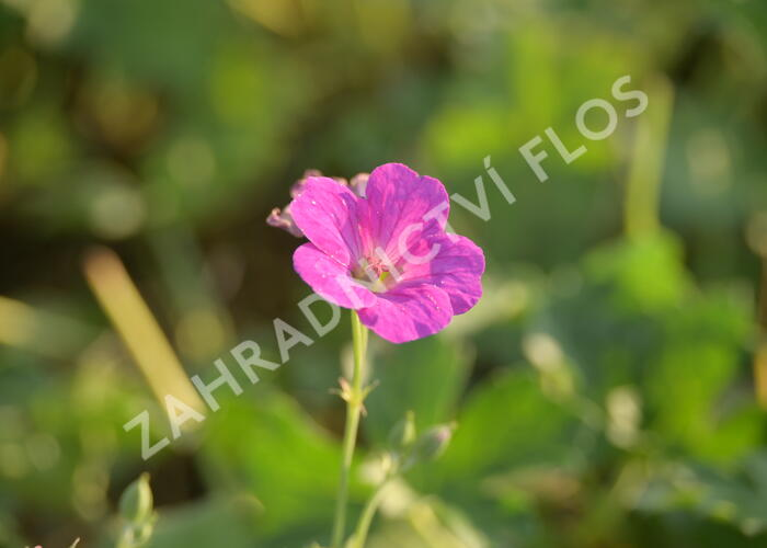 Kakost 'Russell Prichard' - Geranium riversleaianum 'Russell Prichard'