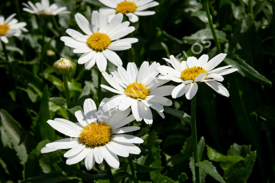 Kopretina 'Snowcap' - Leucanthemum superbum 'Snowcap'