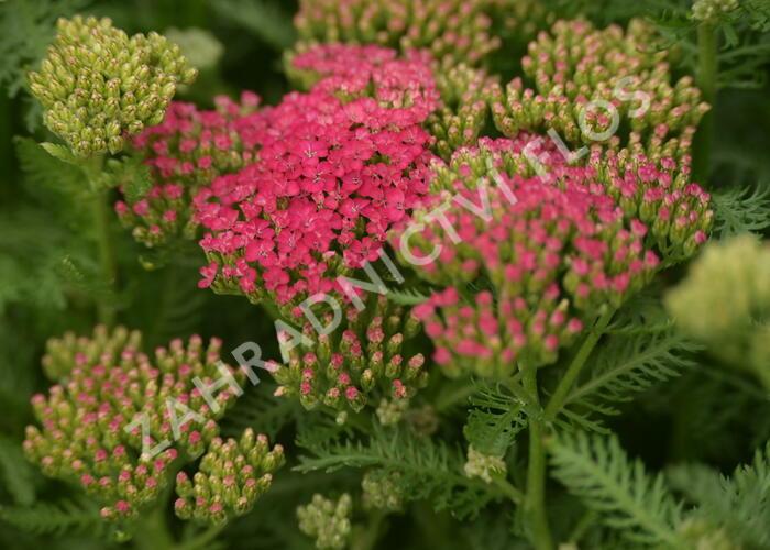 Řebříček obecný 'Seduction Saucy' - Achillea millefolium 'Seduction Saucy'
