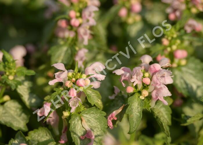 Hluchavka skvrnitá 'Pink Pewter' - Lamium maculatum 'Pink Pewter'