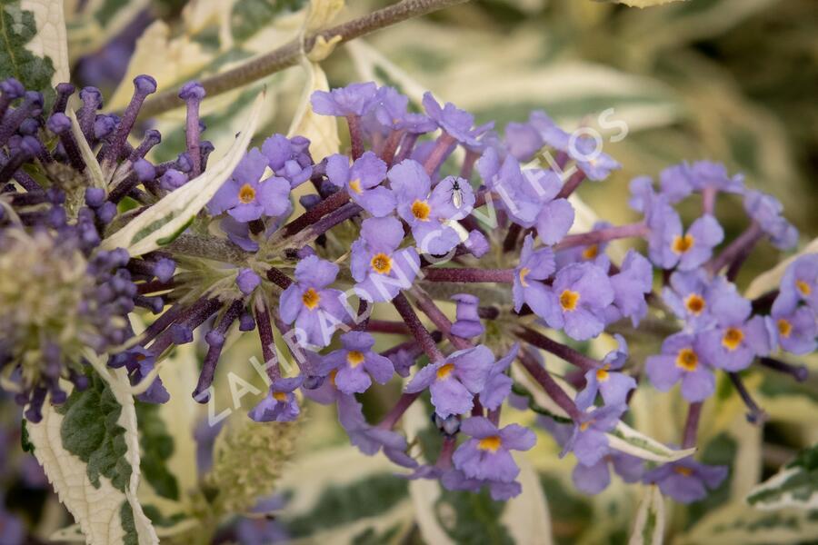 Motýlí keř, komule 'Butterfly Gold' - Buddleia 'Butterfly Gold'