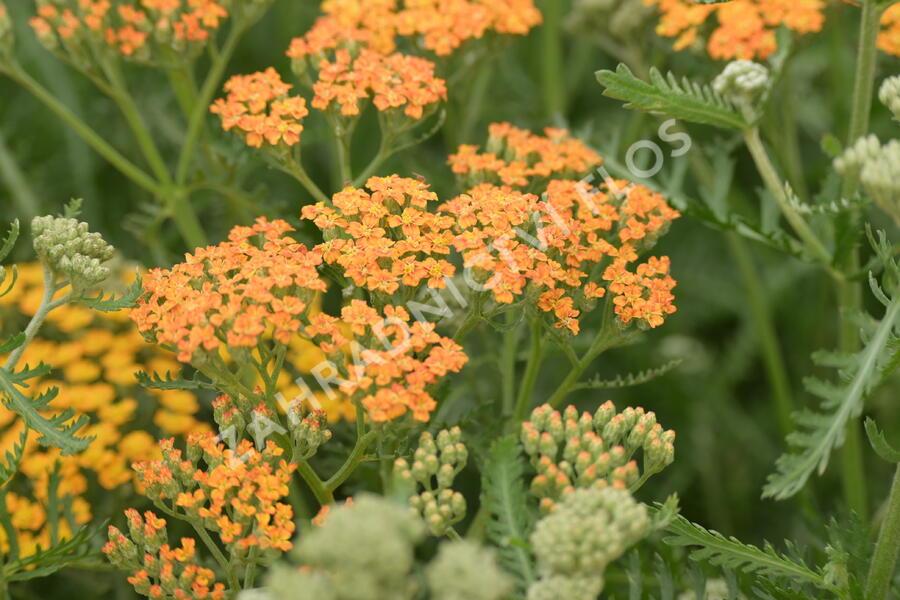 Řebříček obecný 'Terracotta' - Achillea millefolium 'Terracotta'
