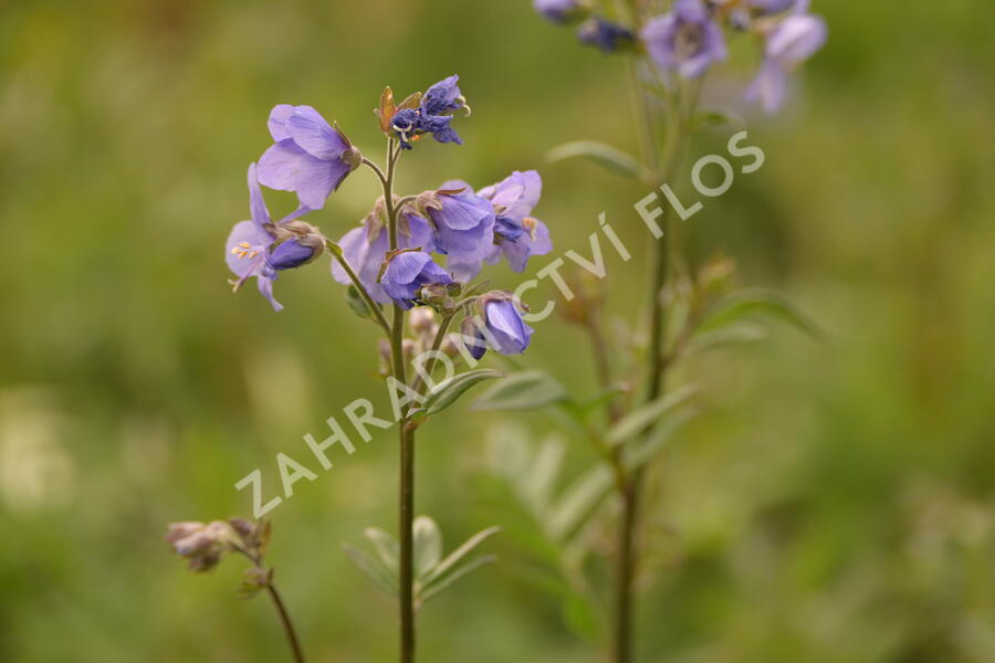 Jirnice jezoská 'Bressingham Purple' - Polemonium yezoense 'Bressingham Purple'