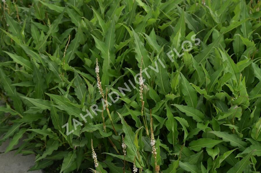 Rdesno 'Alba' - Bistorta amplexicaulis 'Alba'