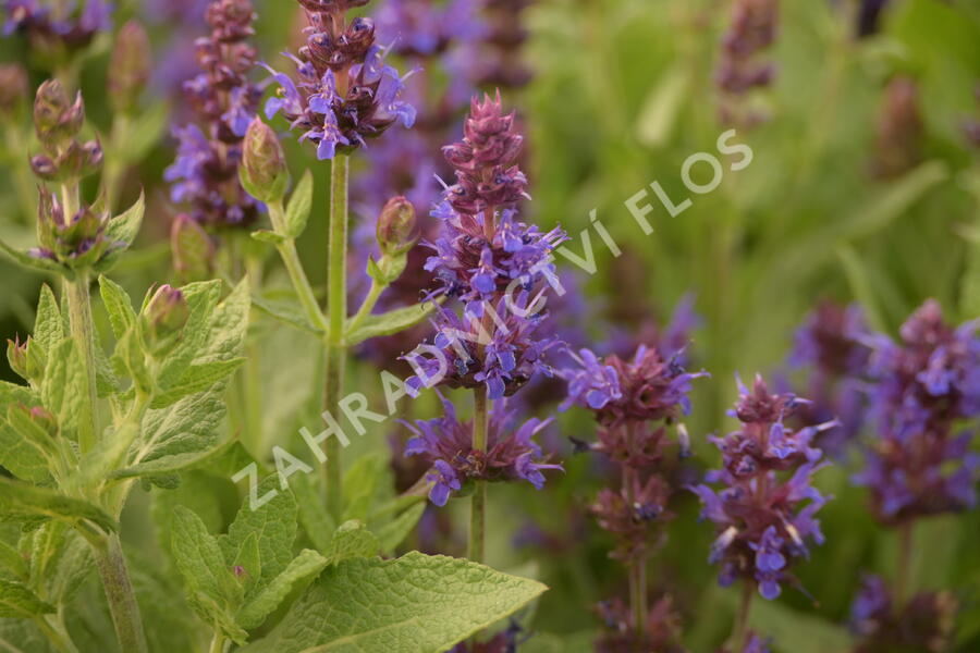 Šalvěj hajní 'Sensation Deep Blue' - Salvia nemorosa 'Sensation Deep Blue'