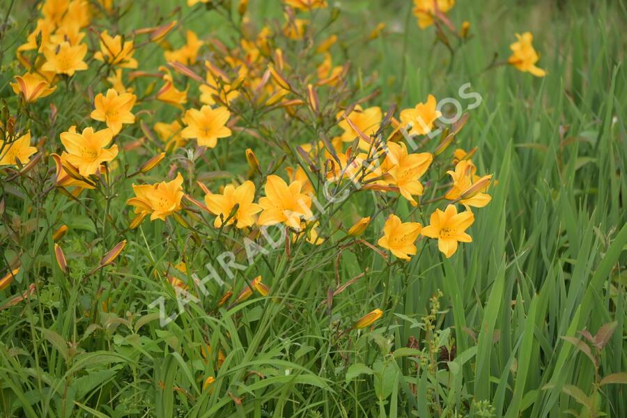 Denivka 'Golden Chimes' - Hemerocallis 'Golden Chimes'
