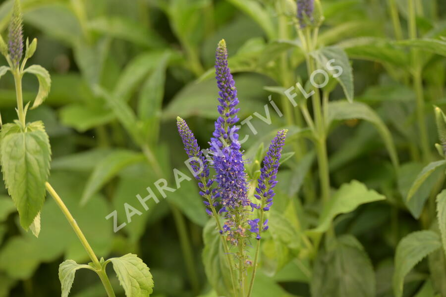 Rozrazil dlouholistý 'Marietta' - Veronica longifolia 'Marietta'