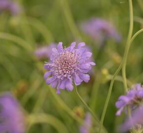 Hlaváč 'Butterfly Blue' - Scabiosa columbaria 'Butterfly Blue'