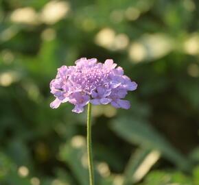 Hlaváč 'Flutter Deep Blue' - Scabiosa columbaria 'Flutter Deep Blue'