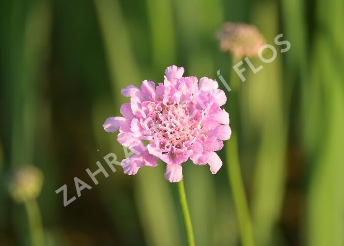 Hlaváč 'Flutter Rose Pink' - Scabiosa columbaria 'Flutter Rose Pink'