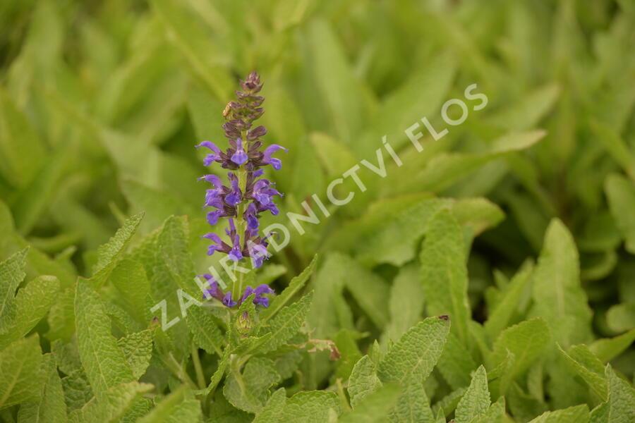 Šalvěj hajní 'Marcus' - Salvia nemorosa 'Marcus'