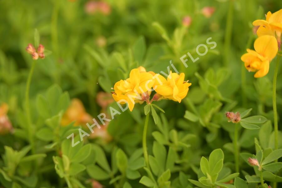 Štírovník růžkatý 'Pleniflorus' - Lotus corniculatus 'Pleniflorus'