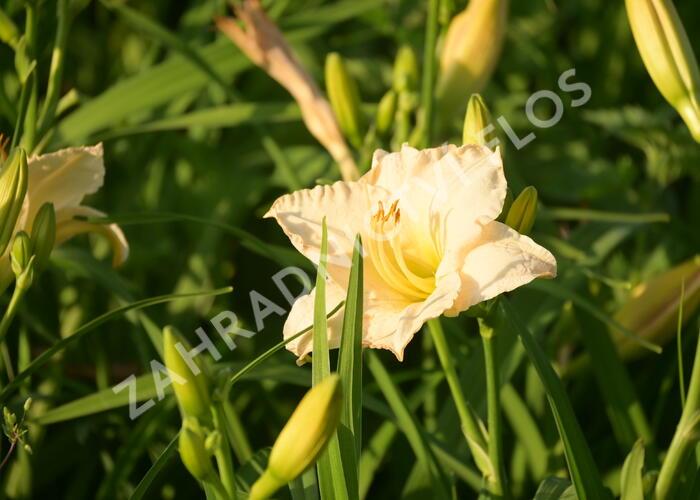 Denivka 'Longfields Beauty' - Hemerocallis 'Longfields Beauty'