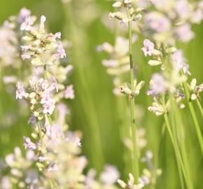 Levandule úzkolistá 'Hidcote Pink' - Lavandula angustifolia 'Hidcote Pink'
