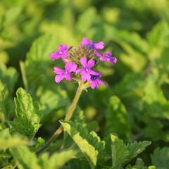 Verbena, sporýš  'Homestead Purple' - Verbena canadensis 'Homestead Purple'