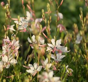 Svíčkovec 'White Dove' - Gaura lindheimeri 'White Dove'