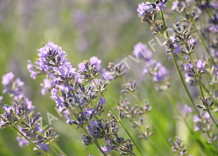 Levandule úzkolistá 'Munstead' - Lavandula angustifolia 'Munstead'