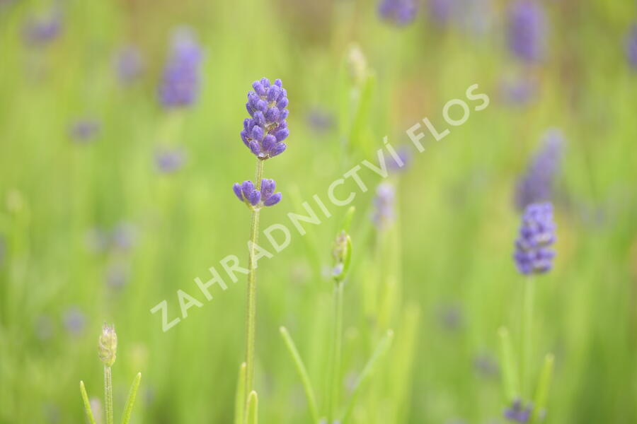Levandule 'Thumbelina' - Lavandula angustifolia 'Thumbelina'