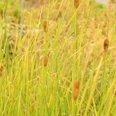 Orobinec úzkolistý - Typha angustifolia