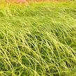 Ostřice Grayova 'Saladin' - Carex grayi 'Saladin'