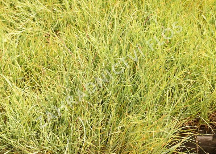 Ostřice prosová 'Pamira' - Carex panicea 'Pamira'
