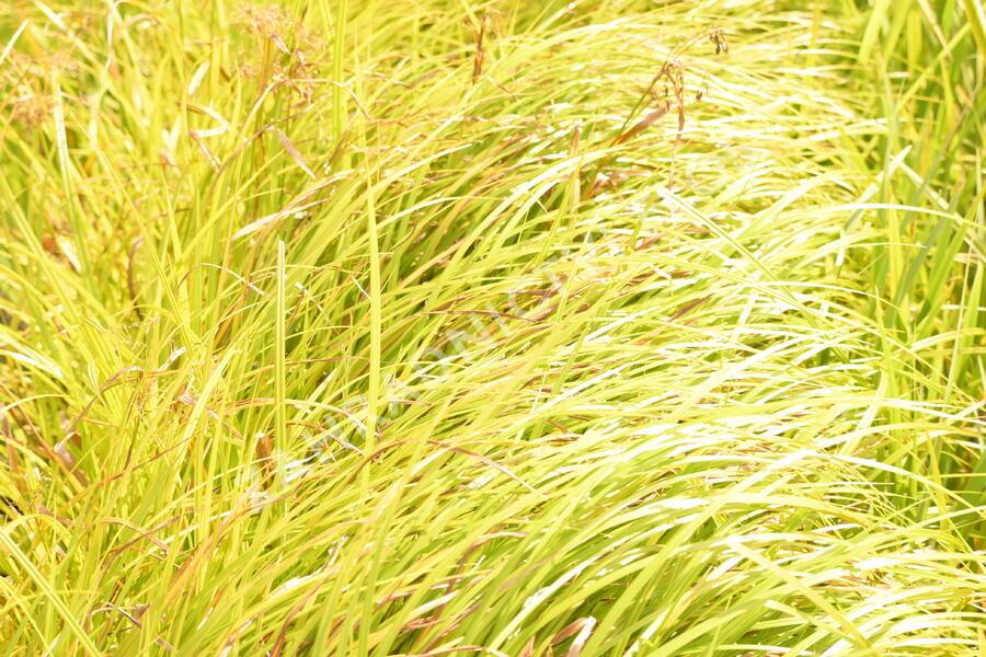 Skřípina lesní - Scirpus sylvaticus