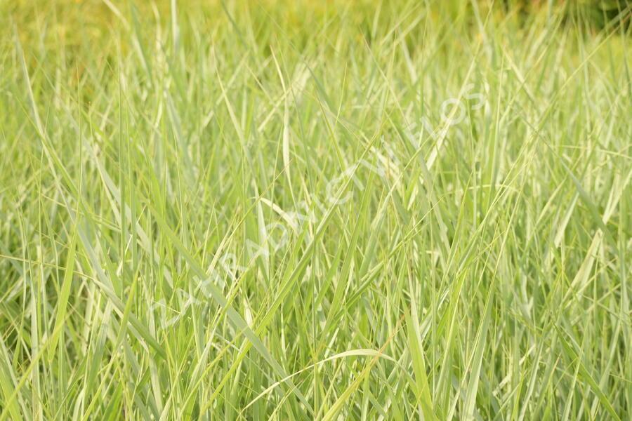 Proso prutnaté 'Prairie Sky' - Panicum virgatum 'Prairie Sky'