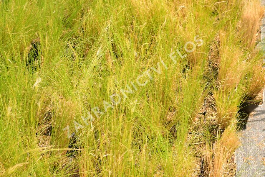Kavyl péřovitý - Stipa tenuissima