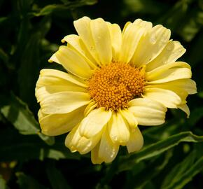 Kopretina největší 'Real Sunbeam' - Leucanthemum maximum 'Real Sunbeam'