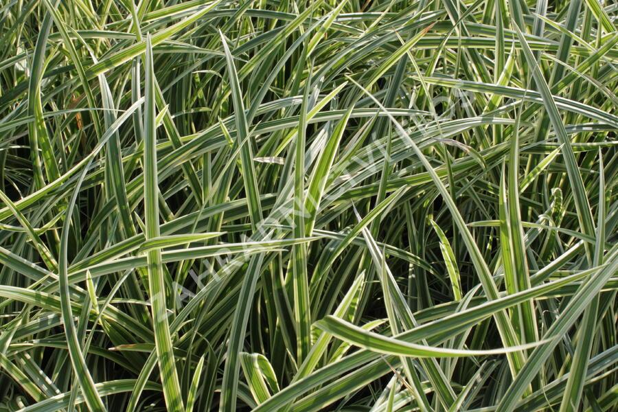 Ostřice japonská 'Aureovariegata' - Carex morrowii 'Aureovariegata'